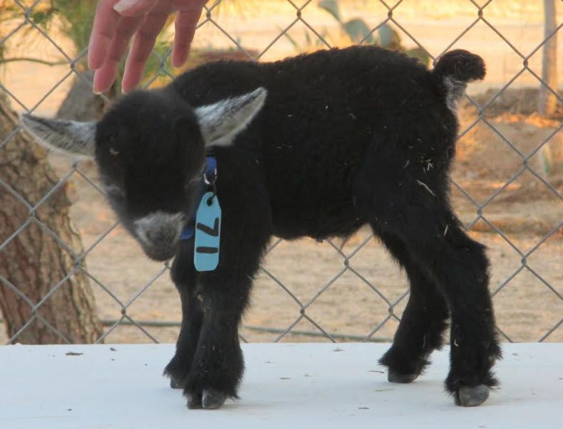 ID 824  DOB: 8/18/16 New Hand Raised Bottle Baby Wether Available For Sale.   Gorgeous black Velvet. Excellent show potential.  Email: debbie@amberwaves.info