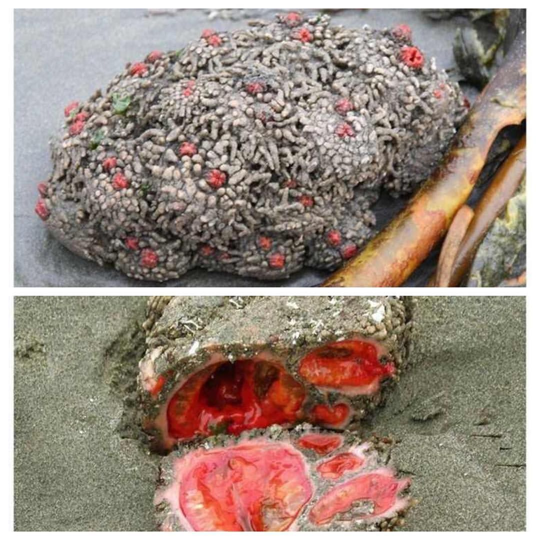 Pyura chilensis: It can be difficult to believe, but these ...