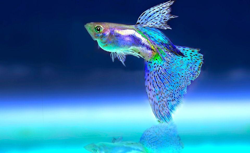 Can I Catch Tuberculosis From My Pet Fish Pet Fish Guppy Fish Beautiful Fish