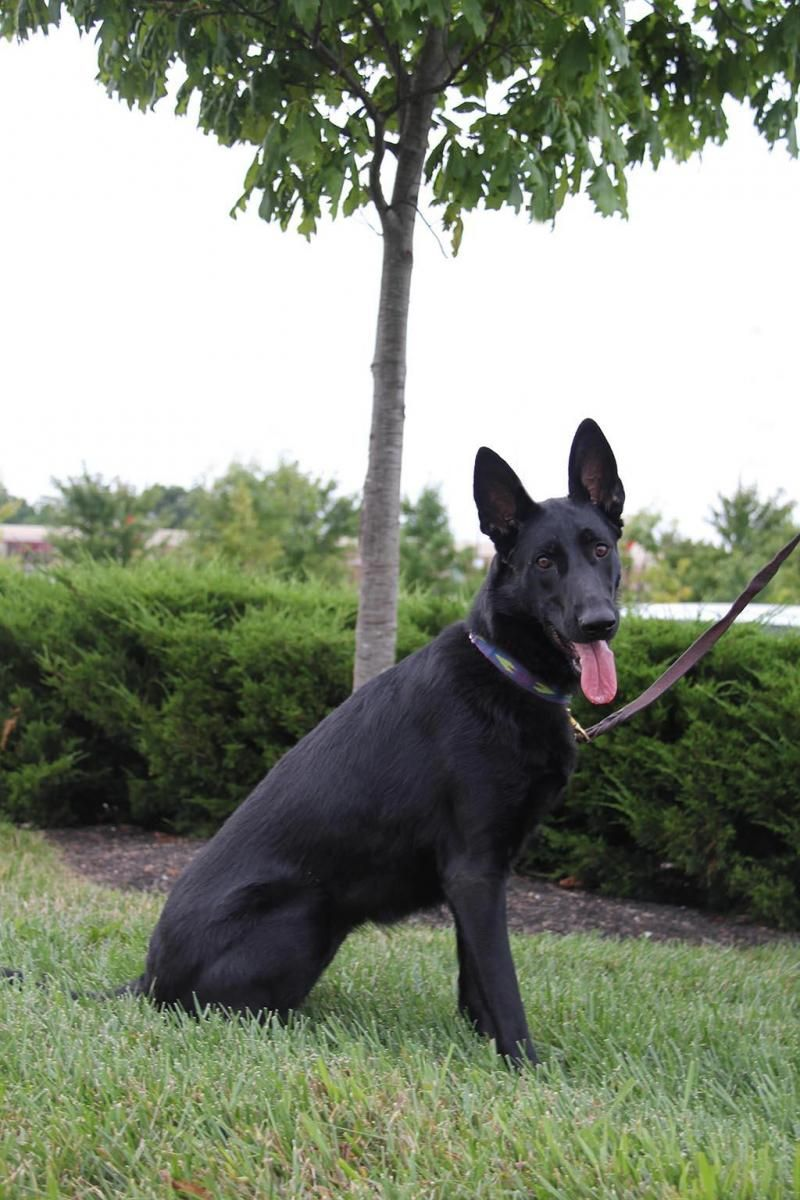 Adopt Liberty On German Shepherd Dogs Dogs Shepherd Dog