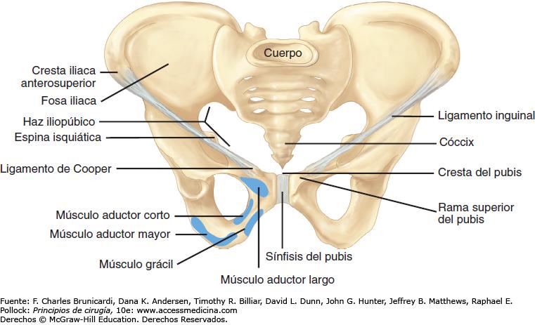 Resultado de imagen de LIGAMENTO INGUINAL | huesos y musculos ...
