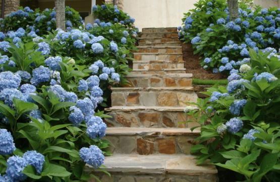 Hydrangeas flowerbed ideas endless summer hydrangea - How to plant a flower garden for dummies ...
