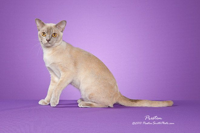 Colors Burmese Cat European Burmese Warrior Cat