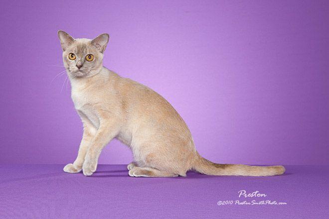 This Website Is Frozen Burmese Cat Cat Breeds Baby Animals