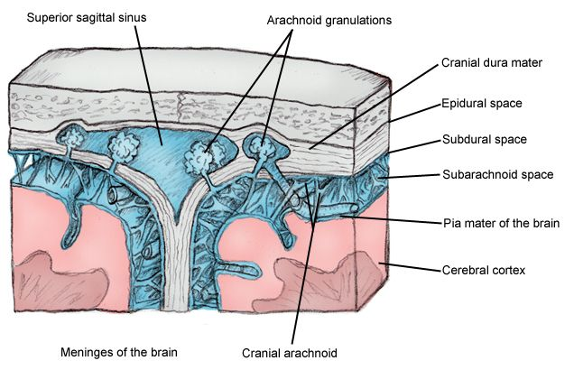 Cross-sectional view of meninges and dural venous sinus. | Neuro ...