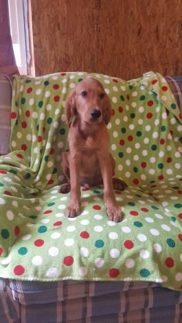 August Golden Irish Puppy For Sale In Paradise Pa Lancaster