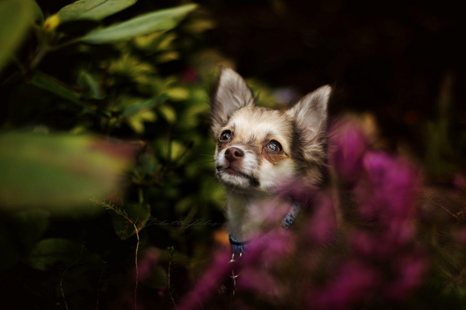 Animal Chihuahua Wallpaper Pet Birds Animals Chihuahua