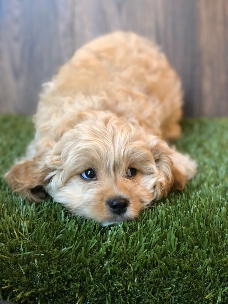 Cuddly And Very Smart Peter Is A Sweet Cavapoo Pup That Is