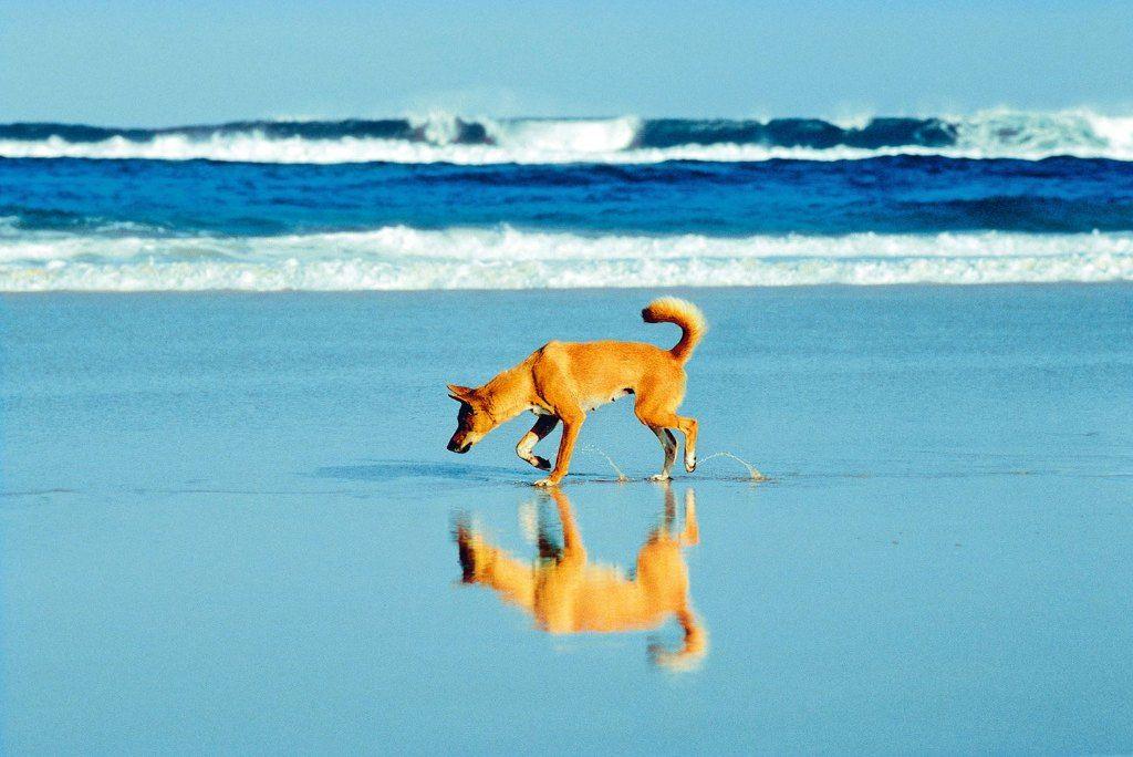 Fraser Dingo Dingo Visit Victoria Western Australia