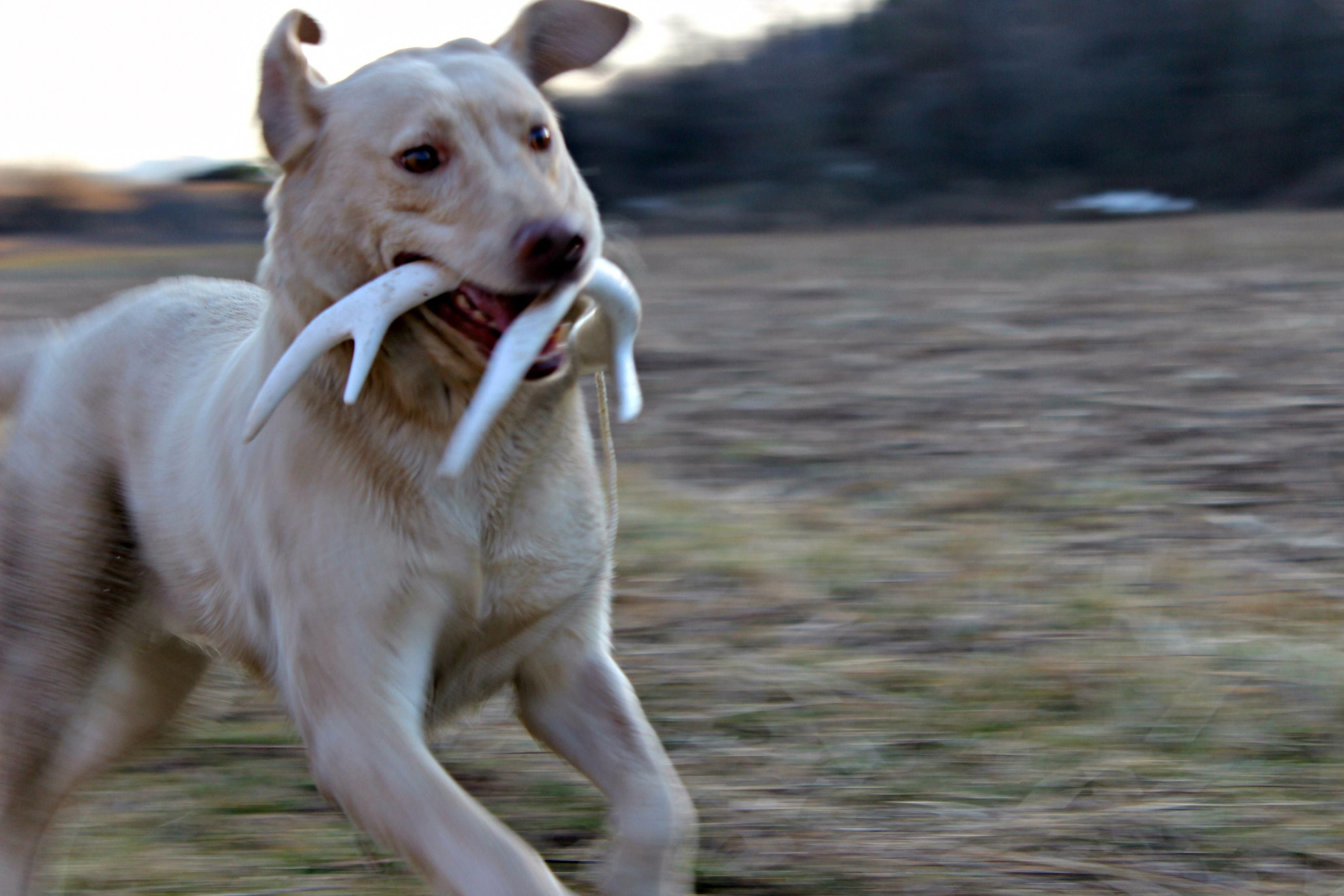 Shed Hunting Dogs Hunting Dogs Dog Antlers Dogs