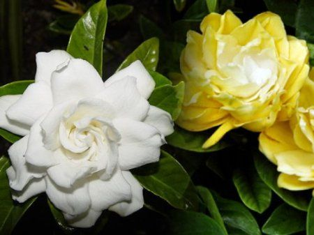 Rare Golden Magic Gardenia Changes Color From Ivory To Yellow To Gold 4 Pot Yellow Plants Gardenia Plant Gardenia