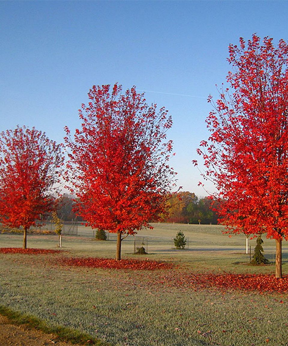 Another Great Find On Zulily Live Autumn Blaze Maple Tree By