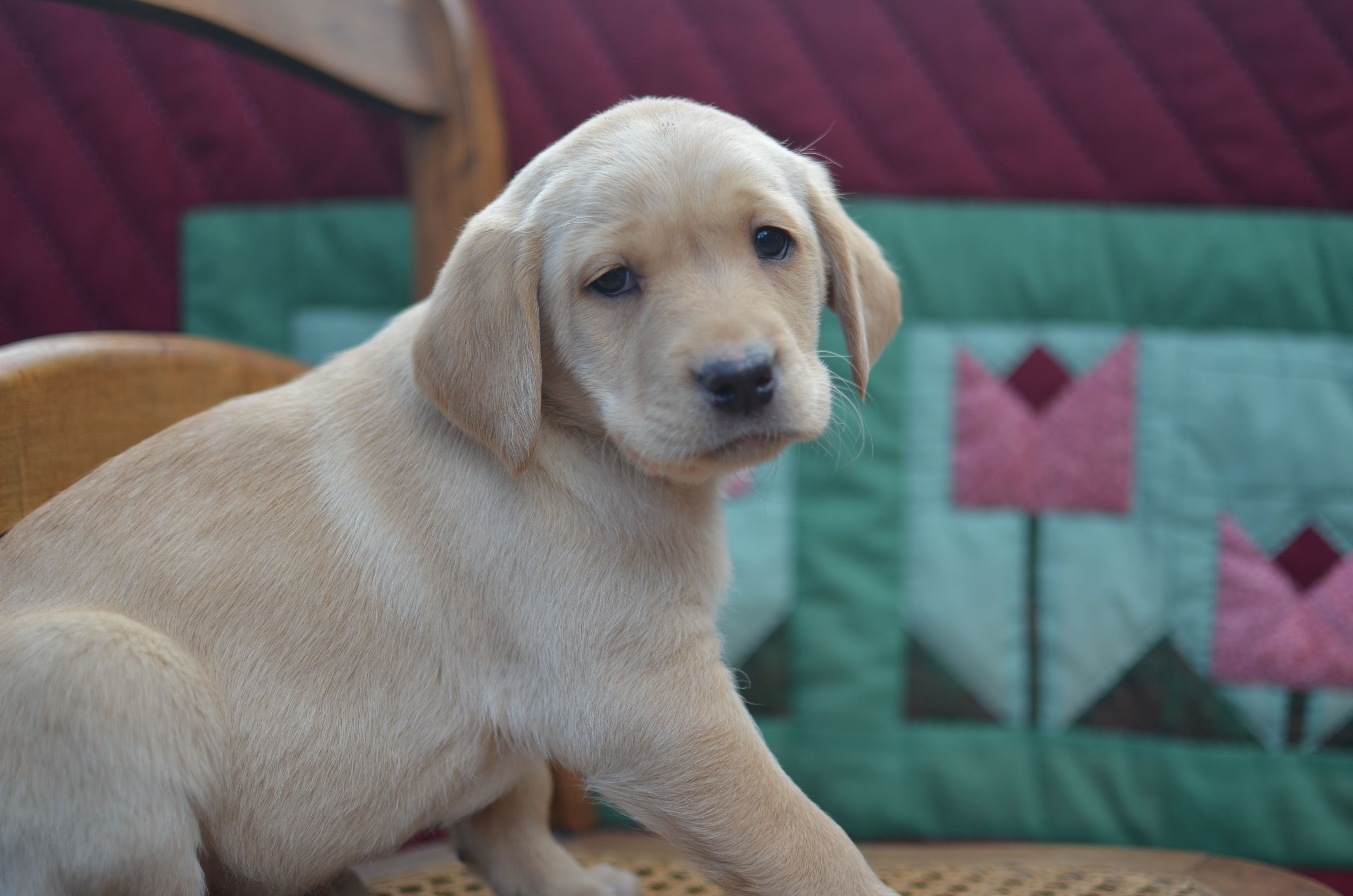 English lab puppy from birddoghill english lab puppies
