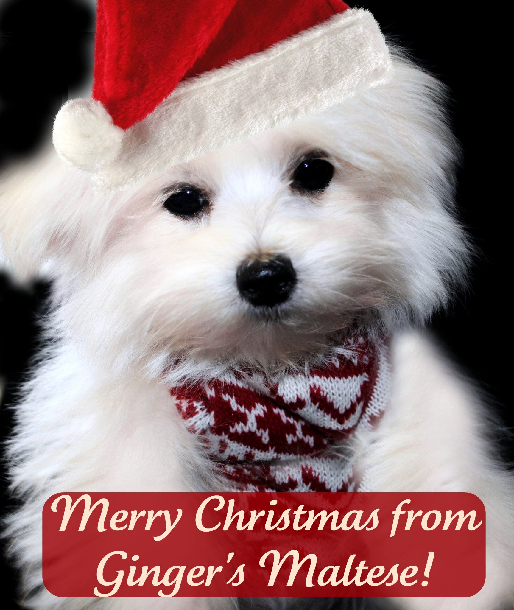 Cute Christmas Dog Names Maltipoo Puppies Pinterest Christmas