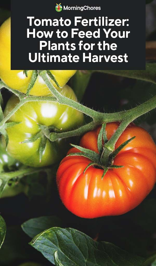 Tomato Fertilizer How To Feed Your Plants For The 400 x 300