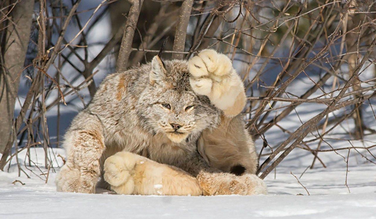 10 Rare and Beautiful Species of Wild Cat Rare cats, Cat