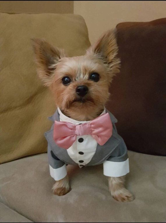 Grey dog tuxedo with bow attached will be perfect for any weddings ...