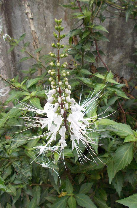 Orthosiphon white flower herbal medicine plantsherbs pinterest orthosiphon white flower herbal medicine mightylinksfo