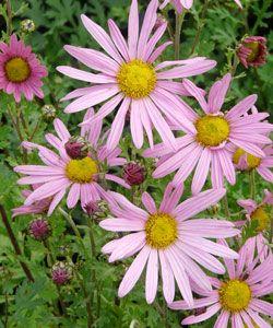 Chrysanthemum Zawadskii Hybride Clara Curtis Herbst Chrysantheme