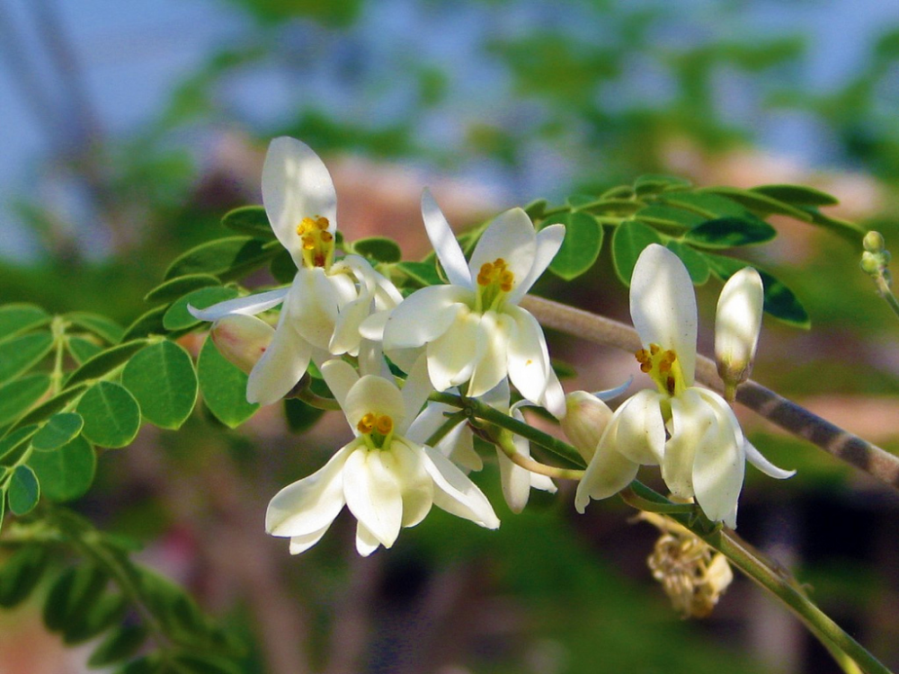 Drumstick Leaves Flowers Seeds Health Benefits And Side Effects Moringa Moringa Benefits Planting Flowers