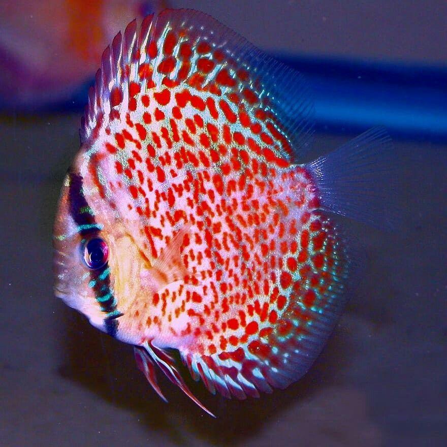 Blow Body Red Leopard Snakeskin Discus Discus Fish Discus Aquarium Beautiful Fish