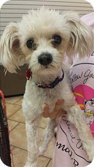 Mesa Az Poodle Miniature Mix Meet Lollie A Dog For Adoption