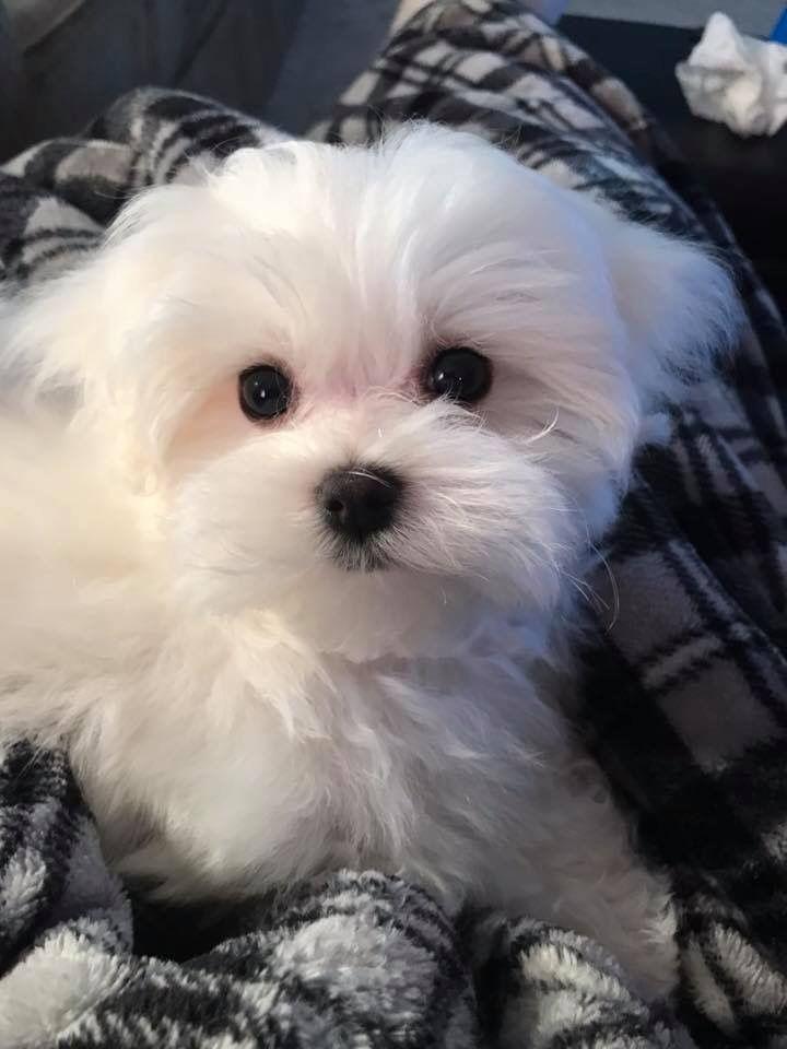 Maltese Mit Bildern Niedliche Welpen Malteser Hund Kleine Hunde