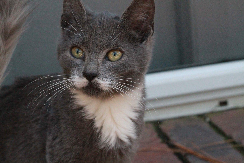Siberian Cats For Sale Savannah Ga Siberian Cat Siberian Cats For Sale Cats For Sale