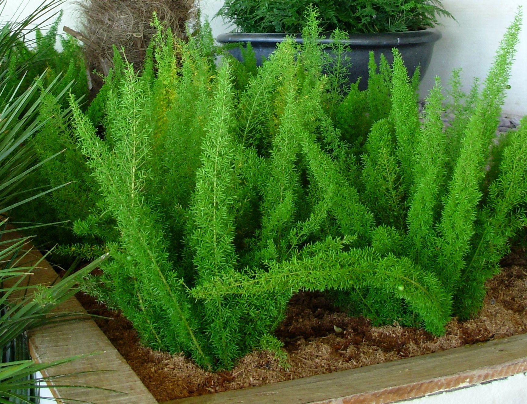 Resultado de imagem para aspargo planta