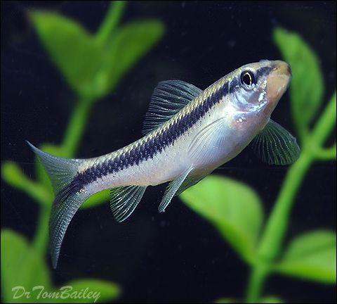 Best Algae Eaters Freshwater Tank Will Clean Your Aquarium Siamese Algae Eater Fresh Water Aquarium Aquarium Maintenance