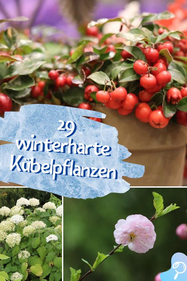29 Winterharte Pflanzen für Kübel | Kübelpflanzen