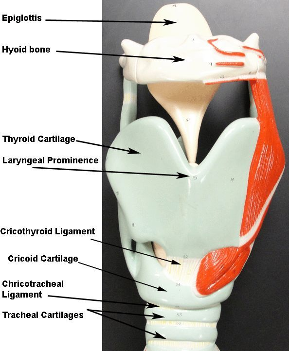 Image Result For Larynx Model Labeled Human Anatomy And Physiology Respiratory System Anatomy Anatomy Models Labeled