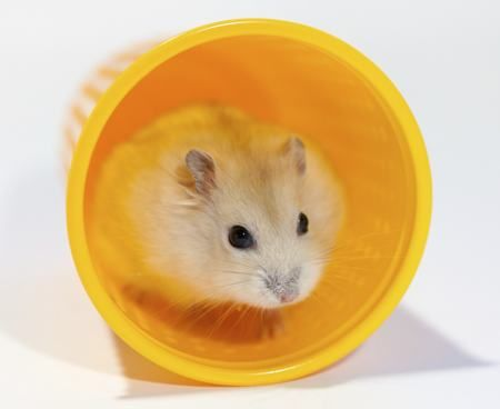 Fun Facts About Syrian Hamsters Get Ready For Cuteness Overload