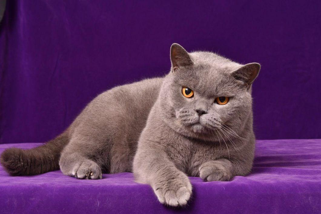 Cats So Gorgeous Kitten For Sale British Shorthair Kittens