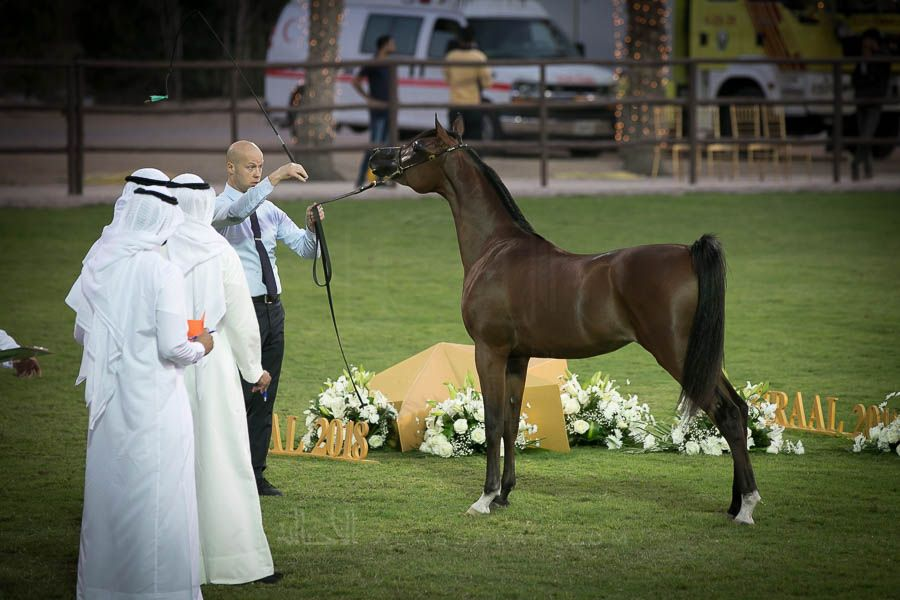 صور مقتطفة من اليوم الثاني من بطولة عجمان 2019 لجمال الخيل العربية الأصيلة Horses Arabian Horse Animals