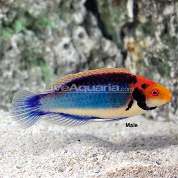Red Eyed Fairy Wrasse Cirrhilabrus Solorensis Solor Fairy Wrasse Redheaded Fairy Wrasse Tricolor Marine Fish Saltwater Aquarium Beginner Tropical Fish Art