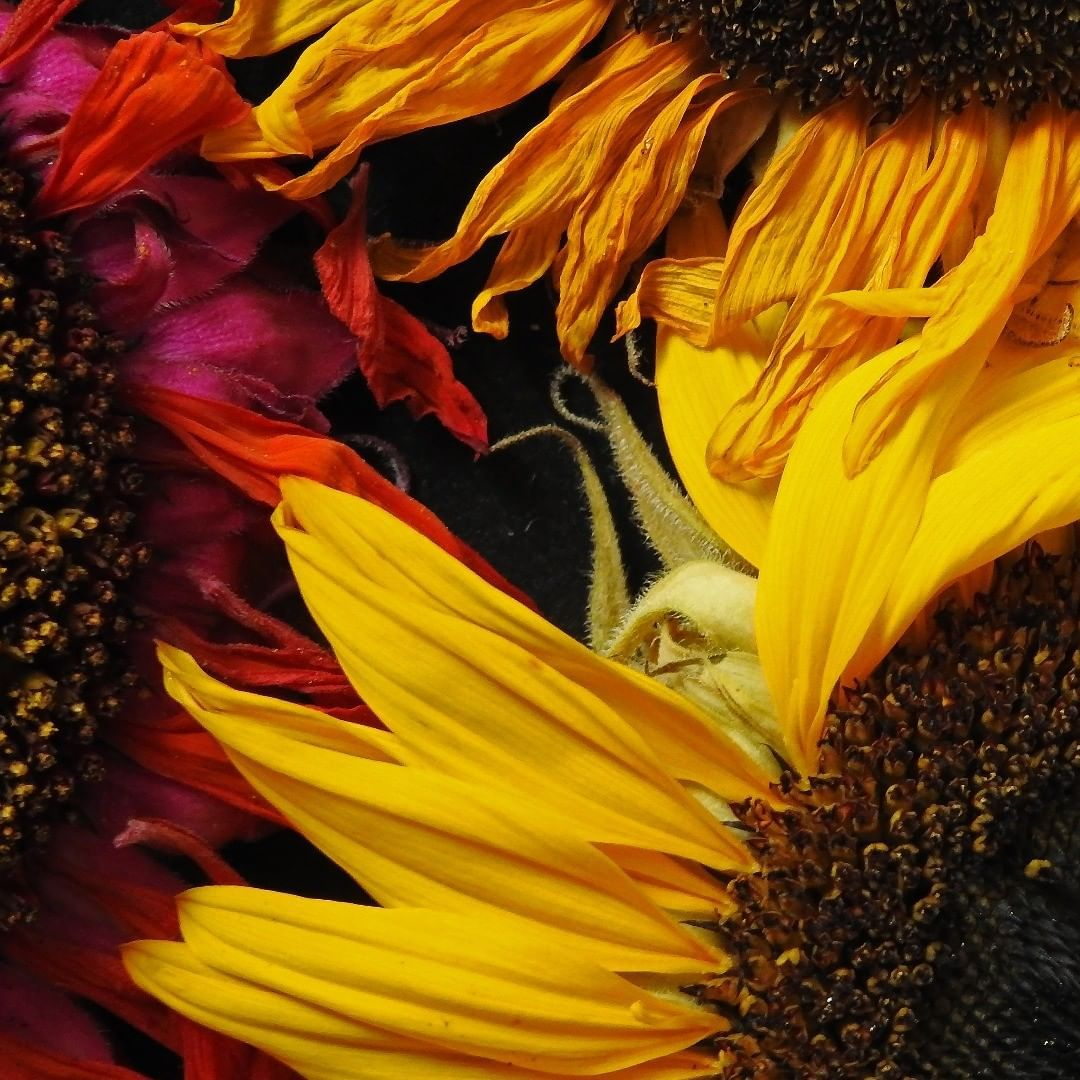 Fading Summer #ourfotoworld #flowers #sunflowers