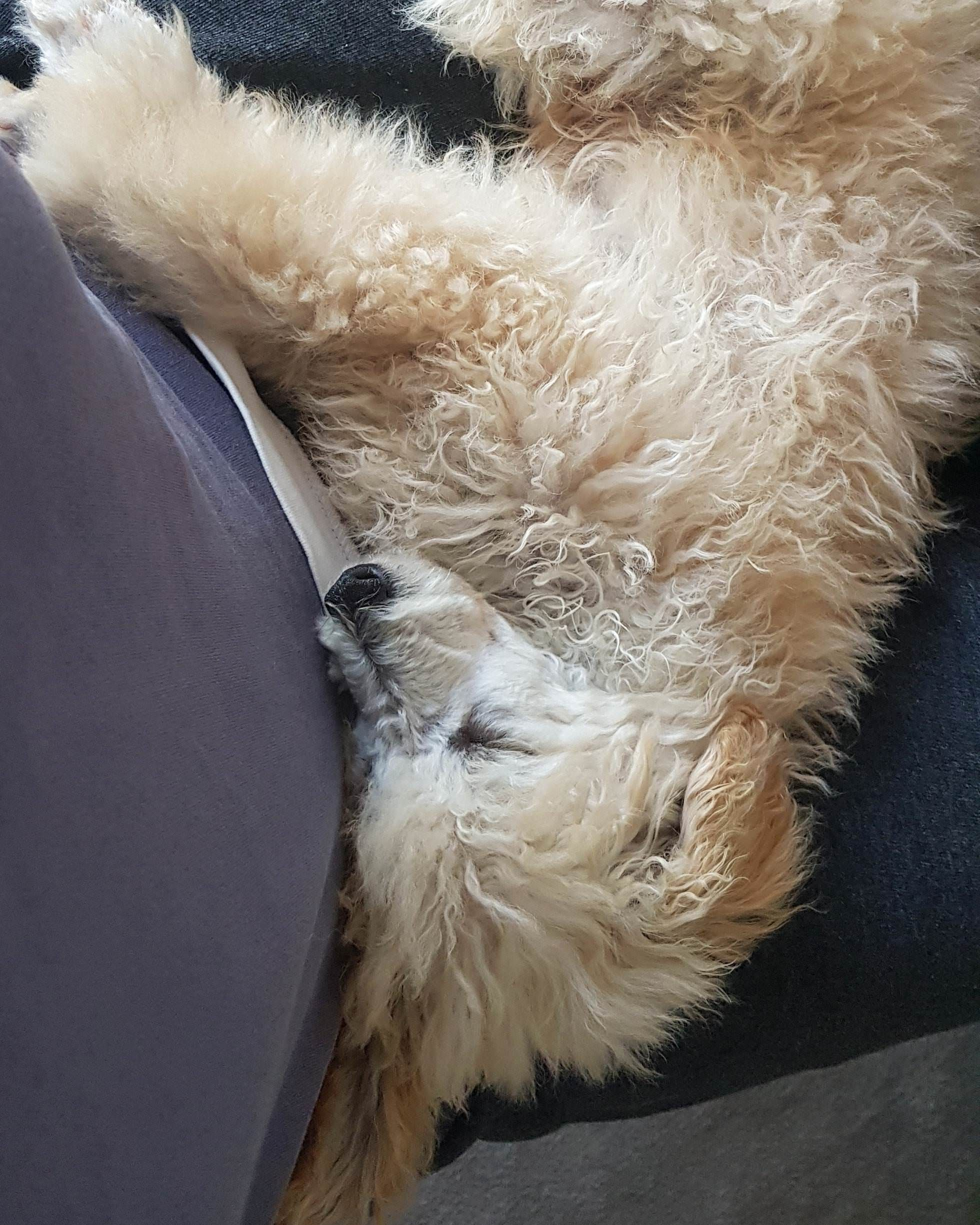 Pin by roverfetch on adorable pets in pinterest poodle