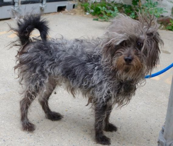 GIANNA - A1090518 - - Manhattan  Please Share:TO BE DESTROYED 09/30/16:  A volunteer writes: Gianna and her kittycat friend Garcelle were found abandonned in an empty apartment, two pretty girls who are looking now for a new home to belong to and a new master to love. I have not met Garcelle and only saw her lovely picture, just a kitten at eleven months of age. Gianna is a very pretty Terrier kind of dog, a little shaggy and whose wiry hair hide beautiful and clear grey ey