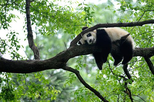 A giant panda rests on a tree in Ya'an, Sichuan province, China. Photograph: Reuters