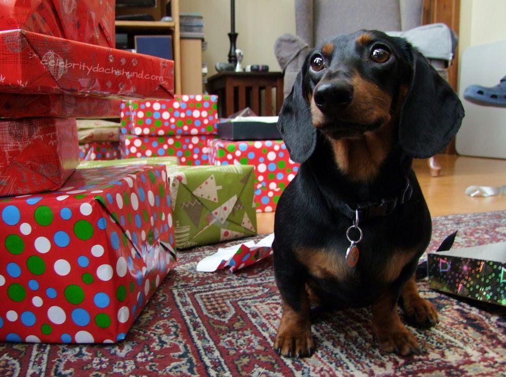 Cute Dachshund Wiener dog, Dachshund pets, Weiner dog