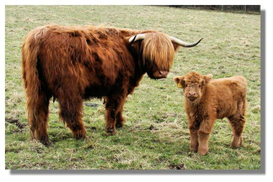 I also want a small herd of Scottish Highland cattle ...