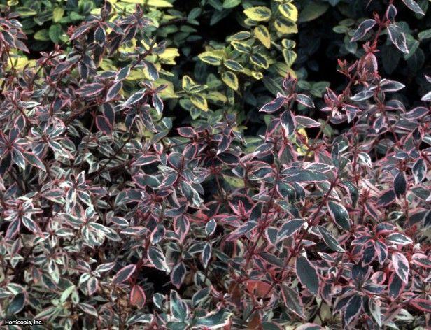 Abelia Abelia Zanderi Conti Confetti Plant Type Shrub Height