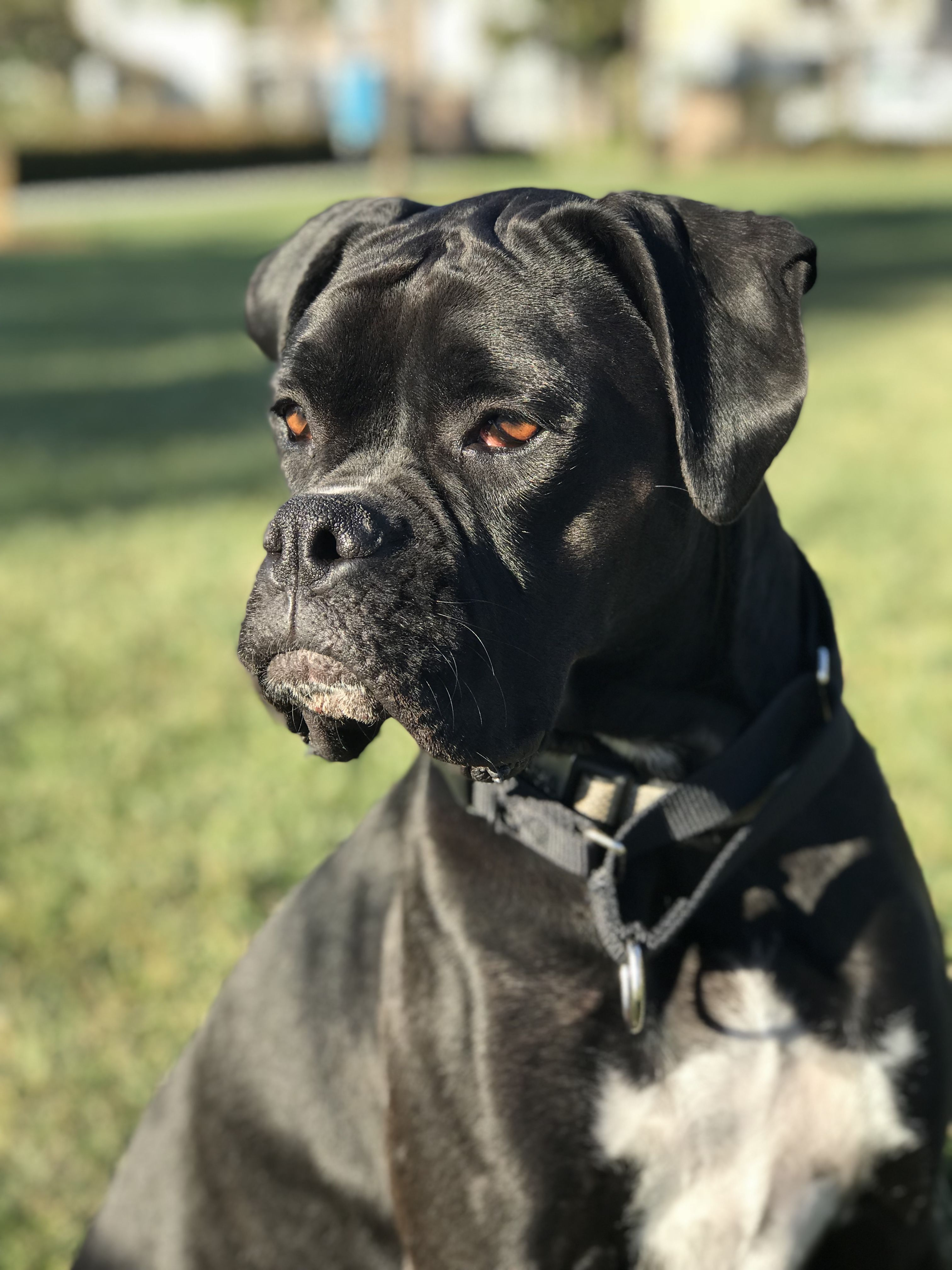 Idea by Parm Lalli on Black Boxer Dog Black boxer dog