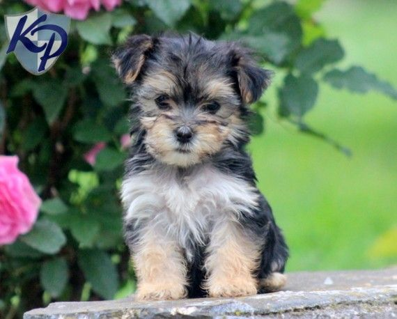 Puppy Finder Find Buy A Dog Today By Using Our Petfinder Morkie Puppies Puppies Morkie Puppies For Sale