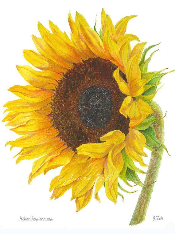 Sunflower Art Print Botanical Illustration Helianthus Annuus Janet