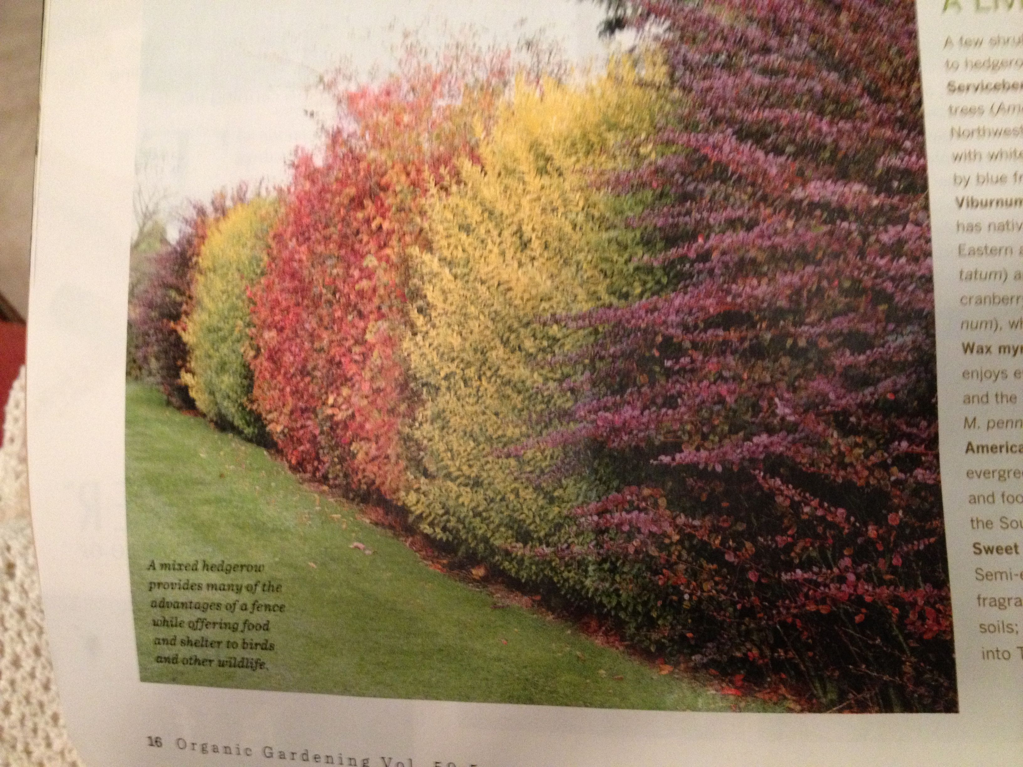 Mixed hedgerow--serviceberries viburnums wax myrtles American holly ...