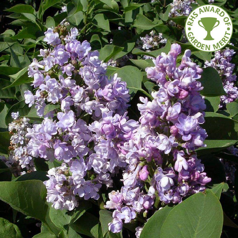 Syringa Vulgaris Katherine Havemeyer Tree Lilac Tree Syringa Vulgaris Syringa