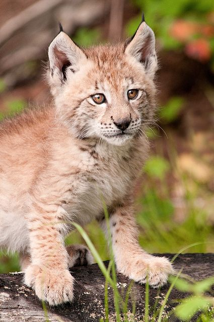 Baby Lynx :)    when these guys get older   they can take