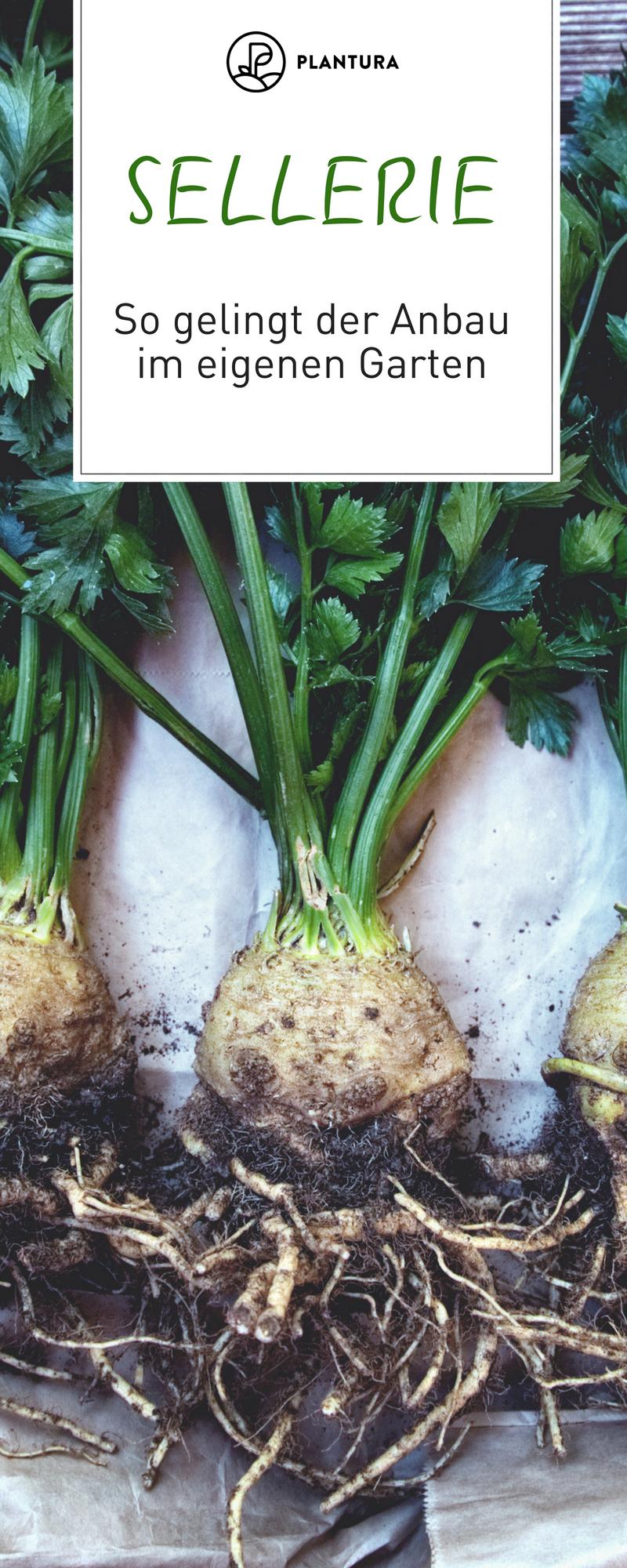 Echter Sellerie: Suppenwürze im eigenen Garten anbauen #erhöhtepflanzbeete